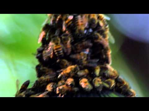 Close up of bees crowding on a conical structure