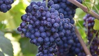 140 сортов винограда на участке у Николая Сергеева. г. Южноуральск