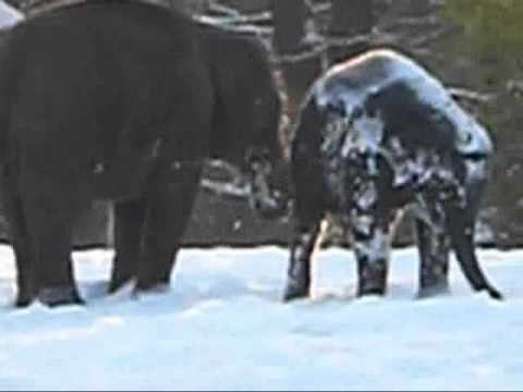Little elephant playing in the snow, zoo Berlin