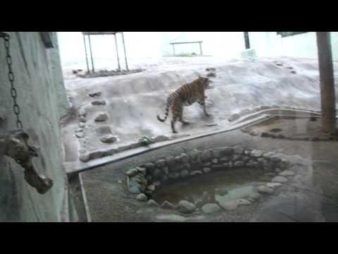 福岡動物園のトラ