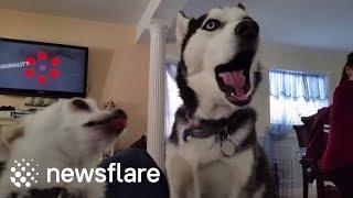 Huskies 'sing' Despacito