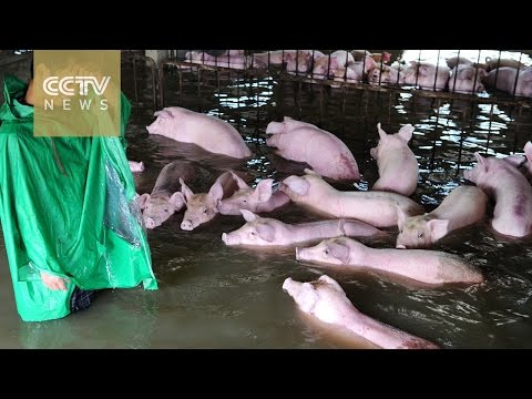 3,000 flood-trapped pigs under evacuation in east China