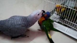 Baby Parrots in (Preethi Farms)
