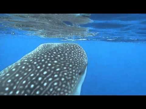 whale shark feeding