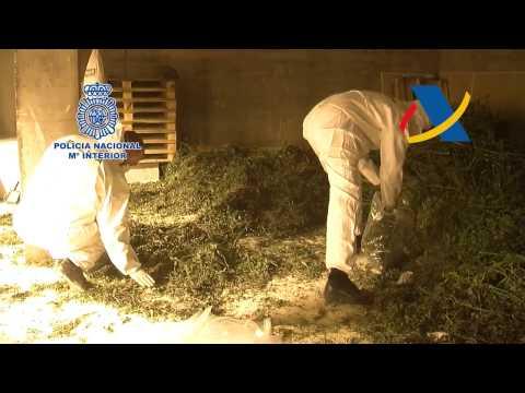 La Policía Nacional y la Agencia Tributaria se incautan de cerca de 7.500 plantas de marihuana