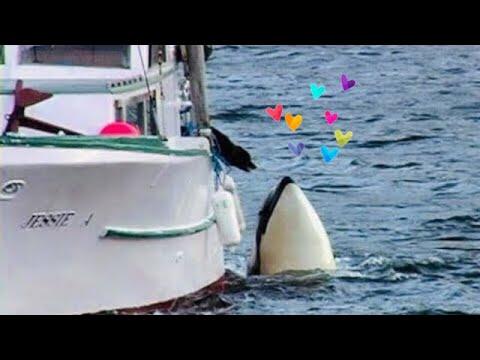 Egy kardszárnyú delfin és egy kutya barátsága