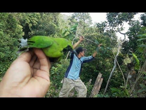 Burung Cucak Ijo - Mikat Burung Cucak Ijo Di Alam Liar PART 2