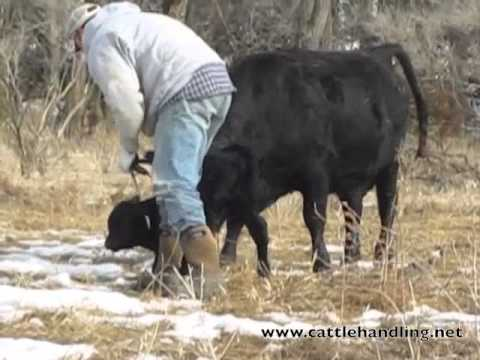 Tagging Calves Low Stress Part 2: Stockmanship & Cattle Handling