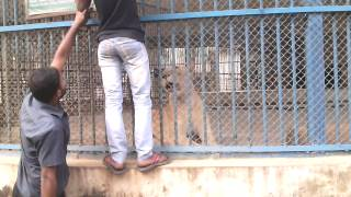 Lion roaring in the cage, Dhaka Zoo MIrpur