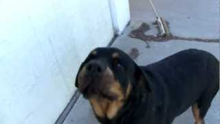Boris:The Rottweiler