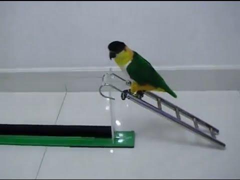 Atraksi Burung Lovebird - lucu banget