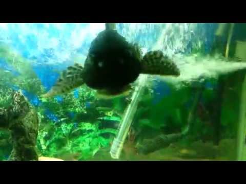 Sxsi המנקה שרוקד כל הזמן -האקווריום שלי 25 Sxsi video