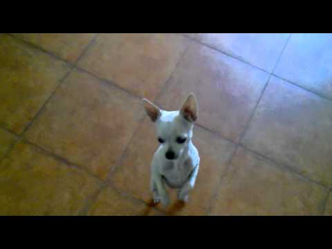 Perros - Perro bailando a dos patas