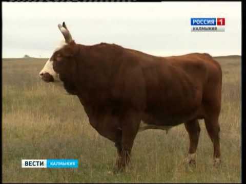 Калмыцкие бычки формируют племенное скотоводство России