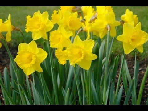 Wie Pflanzt Man Blumenzwiebeln