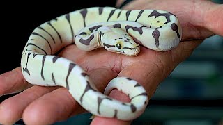 SCALELESS BALL PYTHONS!! CONTROVERSIAL TOPIC!!!  | BRIAN BARCZYK