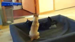 Cat Kicks Chihuahua