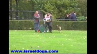 Israeldogs Lara- PART 1 OF 2-knpv exam 26/10/08 Geldrop Holland