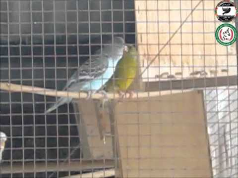 canaryfansclub - Greenfinch feeding budgie chick