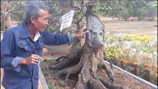 Cây khế hình đầu chó rao bán giá 400 triệu đồng mùa Tết, ai nhìn cũng thích thú