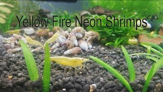 Yellow Fire Neon Shrimp -  Growing Colony
