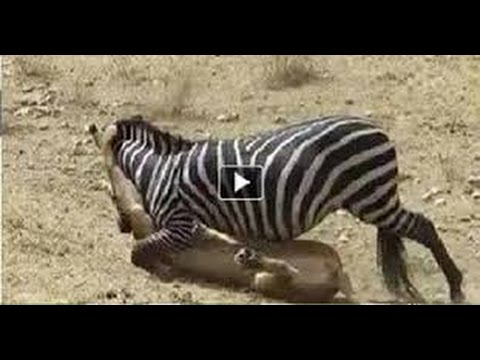 Lion Zebra Attack Zebra Attack Lion Zebra vs