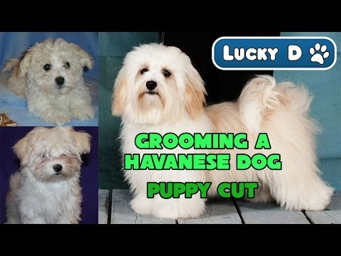 Grooming a Havanese Dog Puppy Cut