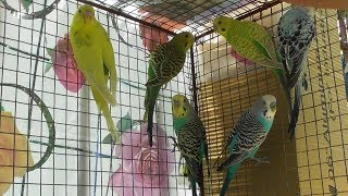 Moments of colorful lovely bajri birds(parakeet).