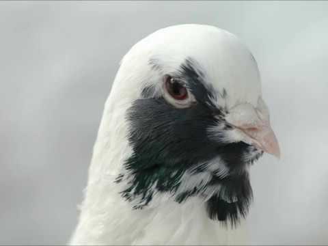 Dewlap Pigeon breeds Adana wammen tauben Güvercinleri Music Videos