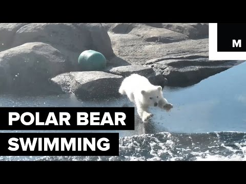Polar Bear Taking Her First Swim is the Cutest Cub Ever