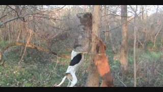 Coon Dog Training #1