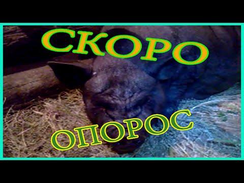 Наши свинkи