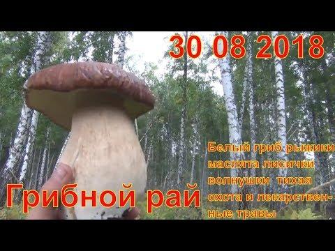 Грибной рай 30 08 2018 Белый гриб рыжики маслята лисички волнушки  тихая охота и лекарственные травы