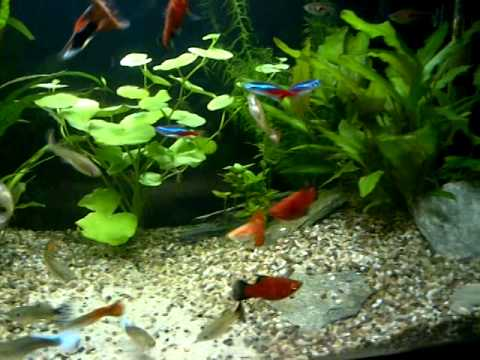 Neon Tetras And Guppies Guppies Platies And Tetras