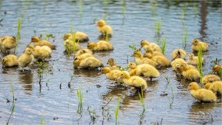 Awesome Duck Farming in Rice Field - Japan Organic Duck Rice cultivation
