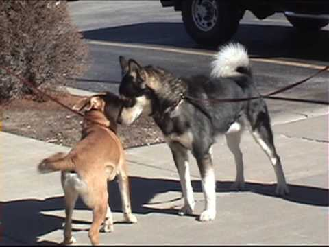 One Great Snark! (slow motion dog to dog meeting) thumbnail