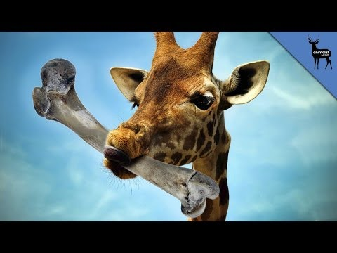 Why Do Giraffes Eat Bones?