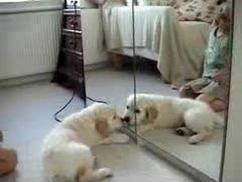 Puppy attacks mirror