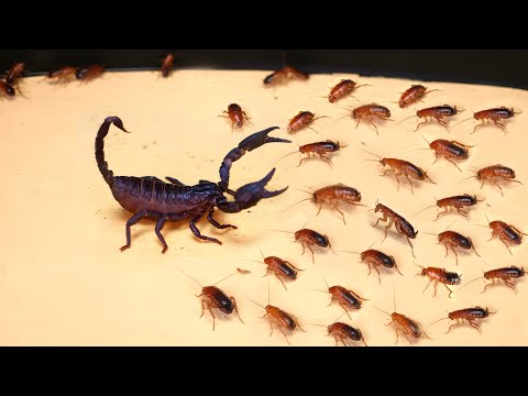Download WHAT IF THE 1000 HUNGRY COCKROACHES SEES SCORPION? SCORPION VS 1000 COCKROACHES Mp4 baru