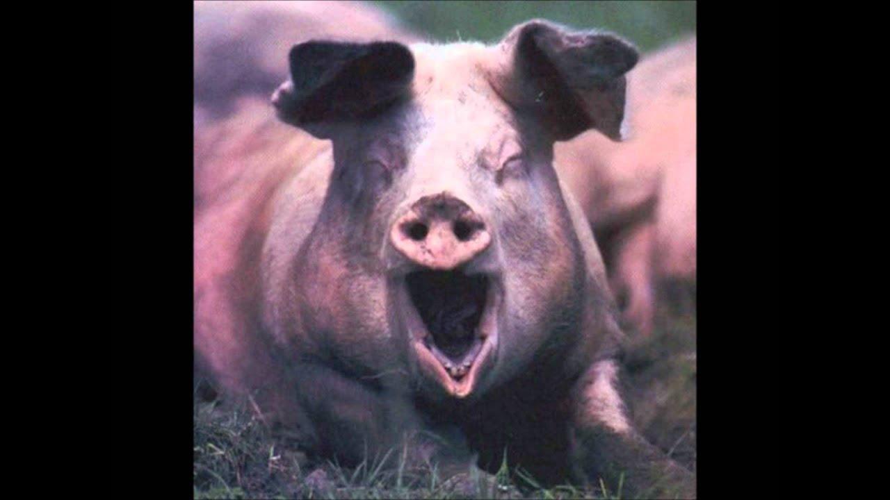 Секс са свиней 23 фотография