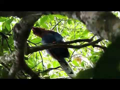 Sri Lanka Blue Magpie video