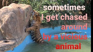 Don't swim with a tiger!
