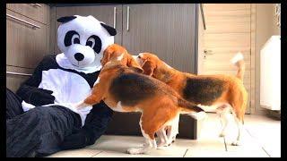 Dogs Vs Giant Panda Prank : Funny Dogs Louie & Marie
