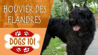 Dogs 101 - BOUVIER DES FLANDERS - Top Dog Facts About the BOUVIER DES FLANDERS