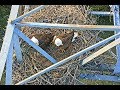 John Bunker Eagles Seagoville TX 11 4 17 607pm Mom & Dad working on the on nest
