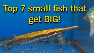 Top 7 small fish, that get really BIG!