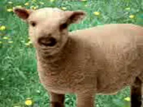 Talking sheep ( Funny Video )