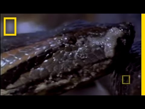 Anaconda Birth Video