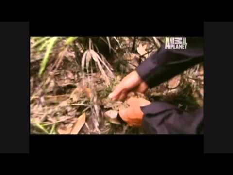 River Monsters - Amazon Assassins - Part 6