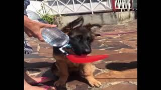 Funniest & Cutest German Shepherd Videos #2   Puppy Videos 2019